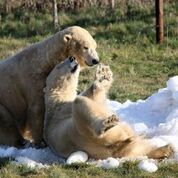 Polar Bears at Yorkshire Wildlife Park receive huge donation of snow and ice
