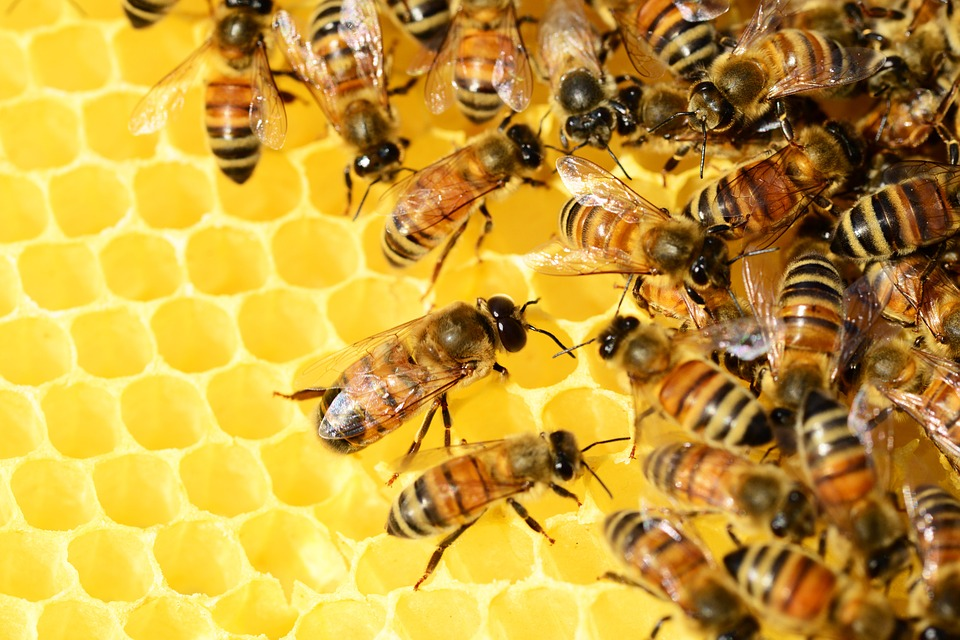 Super-Bee: Brand new bee species being bred in Sheffield