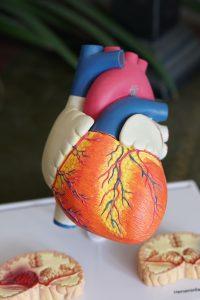A Plastic Anatomical Heart by Robina Weermeijer